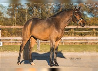 New Forest Pony, Gelding, 3 years, 14.1 hh, Brown