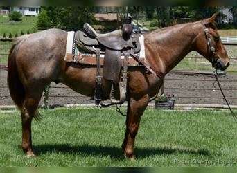 American Quarter Horse, Gelding, 10 years, 15.1 hh, Roan-Red