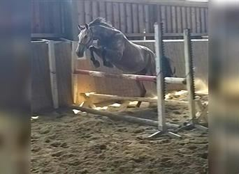 Anglo European Studbook, Mare, 4 years, 16 hh, Dun
