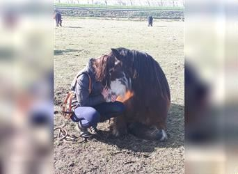 Gypsy Horse, Gelding, 8 years, 13.3 hh, Overo-all-colors