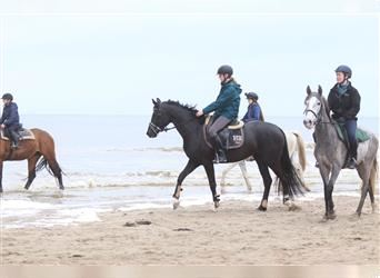 KWPN, Mare, 3 years, 15.1 hh, Black
