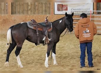 Paint Horse, Mare, 10 years, 14.2 hh, Black
