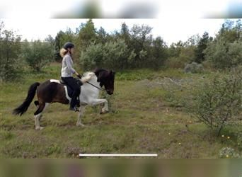Icelandic Horse, Gelding, 11 years, 13.2 hh, Overo-all-colors