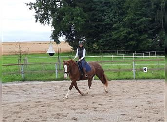 South German Coldblood, Mare, 3 years, 16.1 hh, Sorrel