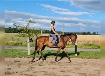English Thoroughbred, Mare, 5 years, 16.1 hh, Brown