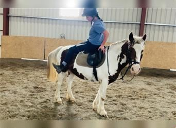 Gypsy Horse, Mare, 7 years, 13.1 hh, Pinto