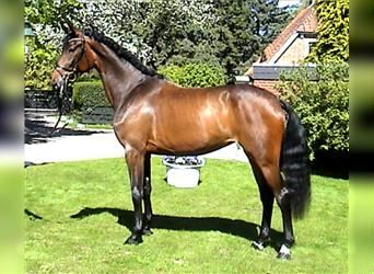 Hanoverian, Mare, 6 years, 17.2 hh, Brown