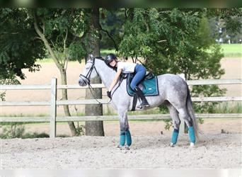 Andalusian, Gelding, 6 years, 15.2 hh, Gray-Blue-Tan