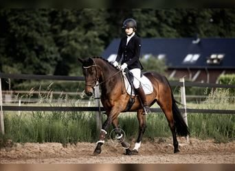 French Trotter, Mare, 12 years, 15.1 hh
