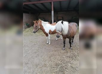Shetland Ponies Mix, Mare, 6 years, 11 hh