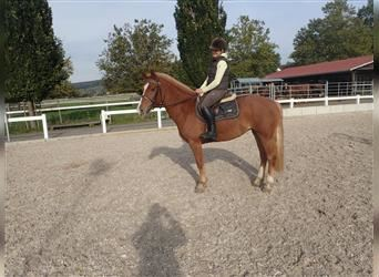 Freiberger, Mare, 3 years, 15.1 hh, Chestnut-Red