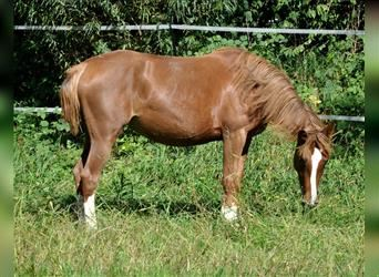Andalusian, Mare, 3 years, 14.1 hh, Chestnut-Red