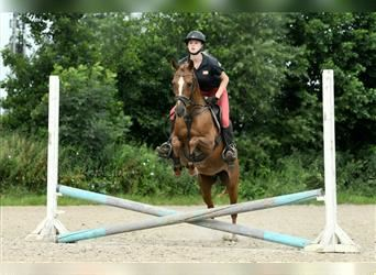 German Riding Pony, Mare, 12 years, 13.2 hh, Chestnut-Red