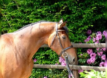 KWPN, Mare, 4 years, 16.2 hh, Brown