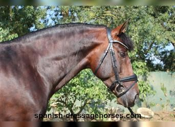 Andalusian, Stallion, 6 years, 15.1 hh, Brown