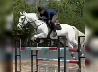 Anglo-Arab, Gelding, 9 years, 16.3 hh, Gray