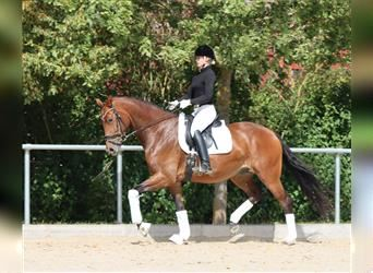 Hanoverian, Mare, 4 years, 16.2 hh, Brown