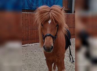 Icelandic Horse, Mare, 7 years, 14 hh, Chestnut-Red