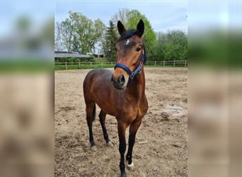 New Forest Pony, Stallion, 2 years, 14.1 hh, Brown