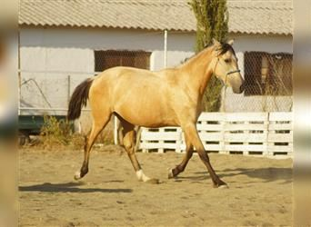 Andalusian Mix, Mare, 2 years, 15.1 hh, Dun