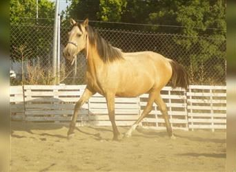 Andalusier Mix, Stute, 2 Jahre, 157 cm, Falbe