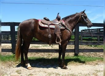 Rocky Mountain Horse, Mare, 13 years, 14.3 hh