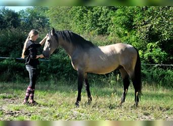 Andalusier, Hengst, 16 Jahre, 158 cm, Falbe