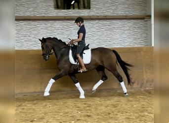 German Riding Horse, Mare, 5 years, 16 hh, Brown