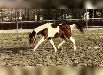 Other Warmbloods, Gelding, 2 years, 16.1 hh, Pinto