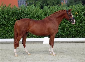 German Riding Pony, Mare, 8 years, 14.1 hh, Chestnut-Red