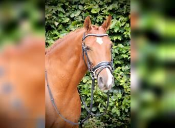 More ponies/small horses Mix, Gelding, 5 years, 14 hh, Chestnut-Red