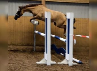 German Riding Pony, Mare, 4 years, 14 hh, Chestnut-Red
