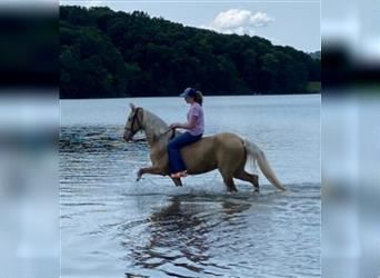 Tennessee Walking Horse, Castrone, 8 Anni, 152 cm, Palomino