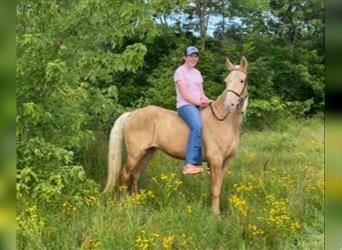 Tennessee Walking Horse, Wallach, 8 Jahre, 152 cm, Palomino