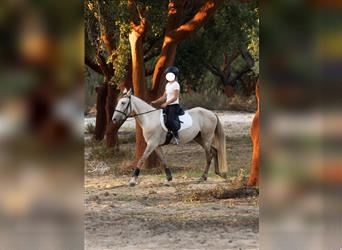 Lusitano Mix, Gelding, 4 years, 15.1 hh, Can be white