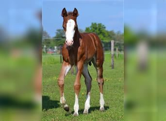 Paint Horse, Stallion, Foal (05/2021), 15.1 hh, Brown