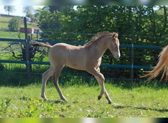 Paint Horse, Stallion, Foal (04/2021), 14.2 hh, Champagne
