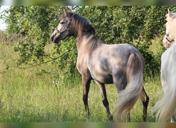 Andalusian, Mare, 2 years, 14.2 hh, Gray