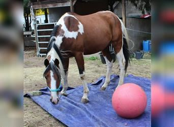 Pintos, Mare, 11 years, 15.1 hh, Pinto