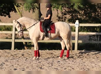 Andalusian, Mare, 13 years, 15.2 hh, Champagne