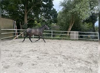Andalusian, Mare, 2 years, 15.2 hh, Gray-Blue-Tan
