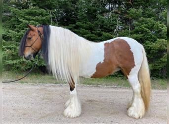 Gypsy Horse, Mare, 8 years, 13 hh, Tobiano-all-colors