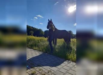 Paint Horse Mix, Gelding, 2 years, 15.2 hh, Smoky-Black
