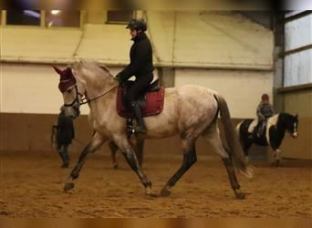 Andalusian, Gelding, 13 years, 15.3 hh, Gray