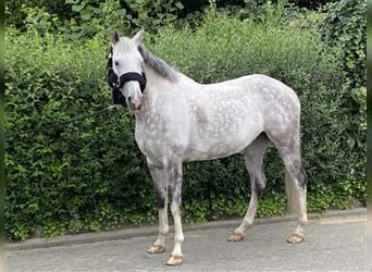 KWPN, Mare, 8 years, 16 hh, Gray-Blue-Tan