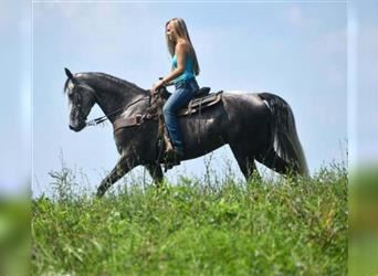Tennessee walking horse, Mare, 5 years, 14 hh, Gray