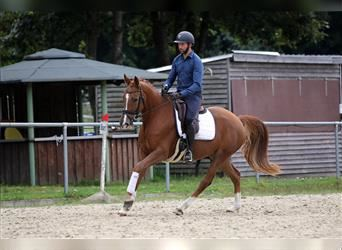 German Riding Horse, Mare, 5 years, 16 hh, Chestnut-Red