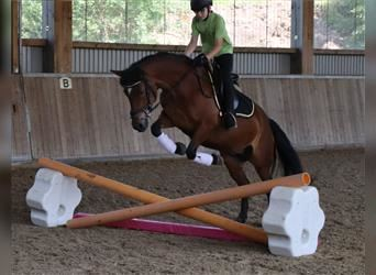 More ponies/small horses, Mare, 13 years, 14.1 hh, Brown