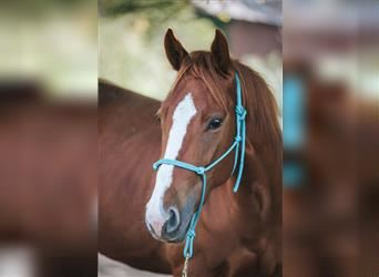 Quarter Pony, Mare, 4 years, 15.1 hh, Chestnut-Red