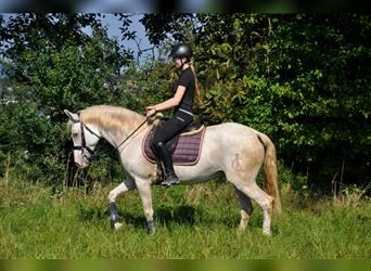 Andalusian, Mare, 8 years, 15.1 hh, Cremello